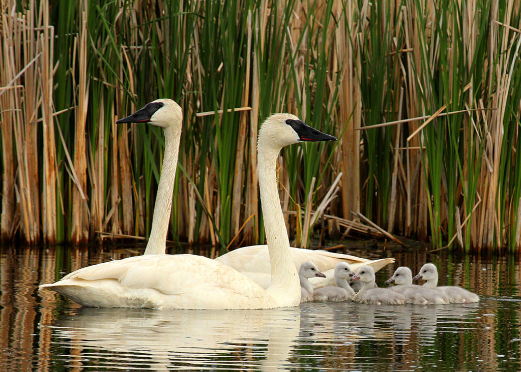 Swan family with babies